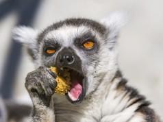 Lemur beim Essen