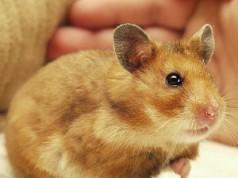 Indicator-Applet für Hamster Zeitverwaltung